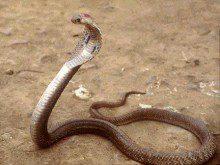 Já foi mordido por uma cobra?