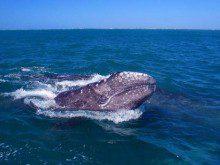 Quanto pesa a língua das baleias?