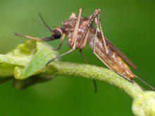 Tem medo dos mosquitos?