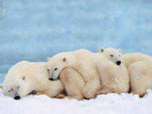 Sabe a cor real dos ursos brancos?