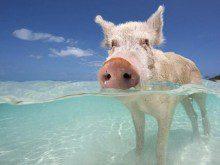 Todos os animais nadam